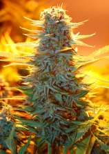 Black Russian Delicious Seeds Seedfinder Info