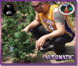 Super Automatic Sativa
