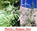 Medi griega by madcat 39 s backyard stash seedfinder for Y griega exterieur