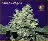Dutch Dragon