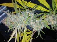 Imagen de DankGroen (Strawberry Cough)