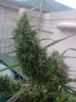 Imagen de New420Guy (Lemon Skunk)