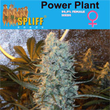 POWER PLANT 99.9% FEMALE SEEDS