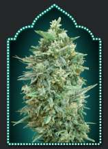00 Seeds Bank Auto Northern Lights XXL