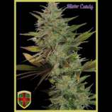 All-in Medicinal Seeds Mister Candy