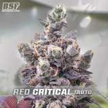 BSF Seeds Red Critical Auto