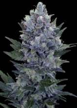 Baked Beans Cannabis Seeds Northern Lights Automatic