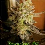 Bean Drop Genetics Downriver #12