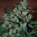 Black Skull Seeds Power Bud