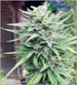 BlueHemp Switzerland E-Rocket