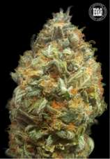 Auto Original Orange Bud