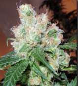 Cabin Fever Seed Breeders Chemmando