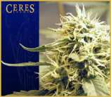 Ceres Seeds Ceres Kush