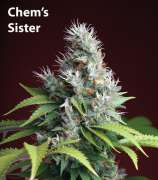 Clone Only Strains Chem Sister