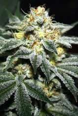 Dank House Seeds Alien Fire