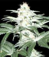 Delicious Seeds Critical Sensi Star