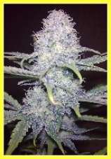 DutchBreed Killer Super Blueberry
