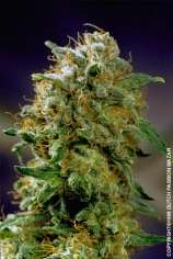 Dutch Passion Mazar