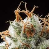 Elemental Seeds Grizzly Kush