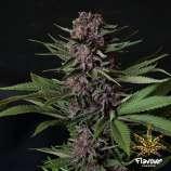 Purple Mazel Tov