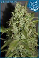 French Touch Seeds Sativa des Rois