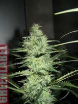 GreenLabel Seeds Ace Silver Haze