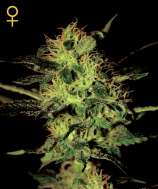 Green House Seeds Super Critical