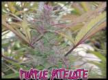 Green Mountain Seeds Purple Satellite
