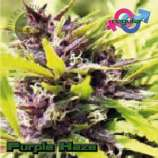 Growers Choice Purple Haze