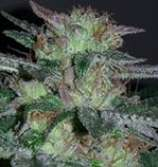 Iron Fist Genetics Glove Love BX