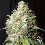 Lady Sativa Genetics Orange Bubba Kush