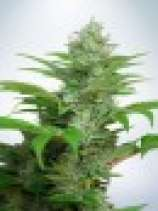 Ministry of Cannabis Auto CBD Star