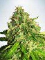 Auto Cannabis Light