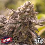 Moxie 710 Lucky No Sleven
