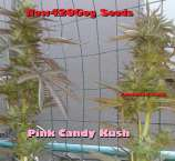 New420Guy Seeds Pink Candy Kush