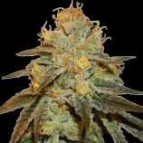 Quebec Cannabis Seeds Bruce Banner Fast Version