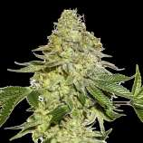 SeedStockers Sherbet