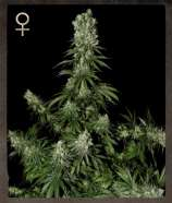 Strain Hunters Seed Bank White Strawberry Skunk