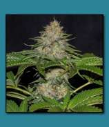 THC Development Seed Company Dawg Walker