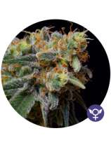 The Bulldog Seeds Caramelicious