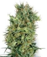 Cali Orange Bud