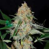 World of Seeds Bank Afghan Kush Early Harvest
