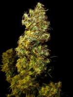 Clone Only Strains esbX - photo réalisée par Farma