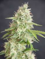Cream of the Crop Seeds Double Cream - photo réalisée par SeedMan91