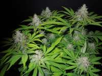 Pic for Desconocida Kush (Delicious Seeds)