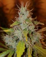 Imagen de BudBro (Auto Critical Orange Punch)