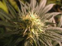 Dutch Passion Mazar - photo réalisée par Alex161072