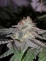 Green House Seeds Sweet Valley Kush - photo réalisée par greenlyfe