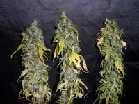 Homegrown Fantaseeds Northern Light - photo réalisée par TeamAmadeus