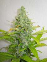 Kannabia Seeds Power Skunk - photo réalisée par Xochipilli